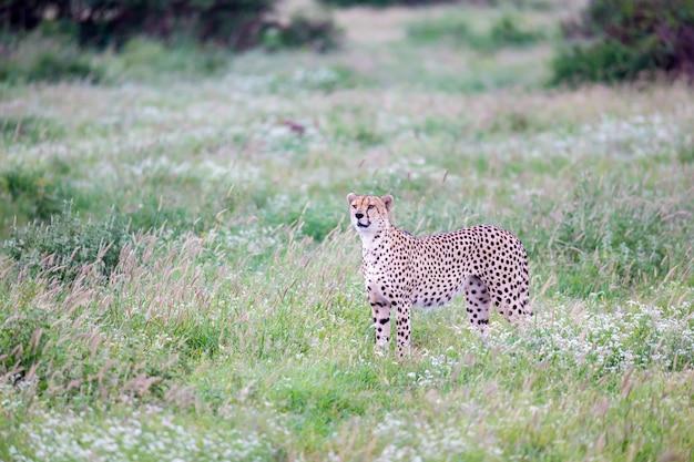 Гепард на лугах саванны