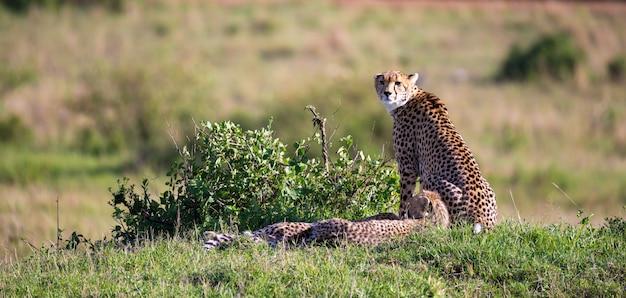 Мать гепарда с двумя детьми в кенийской саванне