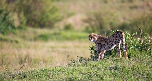 ケニアのサバンナの草と茂みの間をチーターが歩く