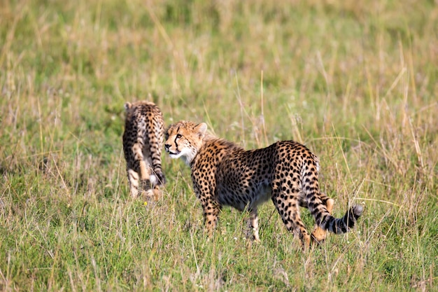 Гепард идет между травой и кустами в саванне кении.
