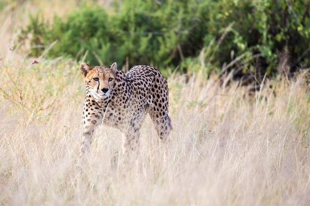 Гепард идет по высокой траве саванны в поисках еды