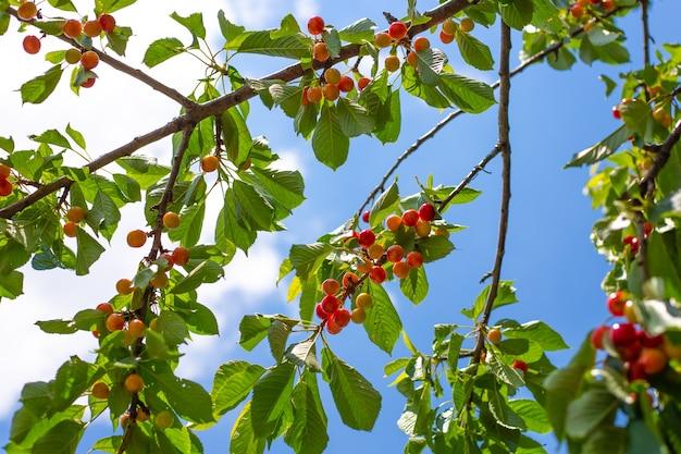 푸른 하늘을 배경으로 붉게 익어가는 과일이 있는 벚나무. 게으른 정원에서 맛있는 신선한 베리.