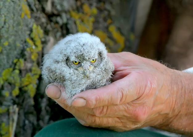 鳥類学者の手にコノハズクのひよこ