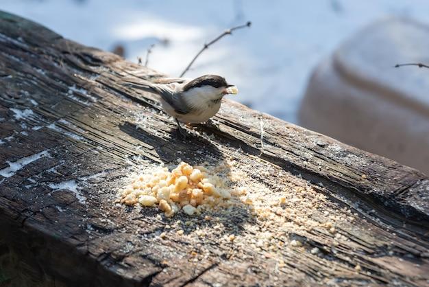 木の丸太の上に座って冬にパンくずを食べるひよこ