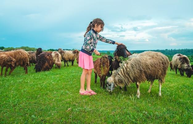子供が牧草地で羊に餌をやる