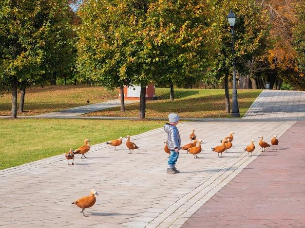 秋の都市公園でアヒルのアカツクシガモの間で動いている子供。