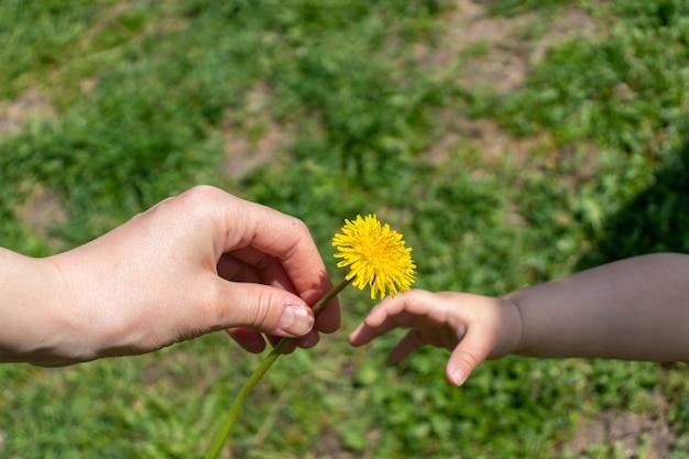 아이의 손이 엄마의 손에 민들레 꽃을 건네줍니다. 두 손이 꽃을 잡고 있습니다.