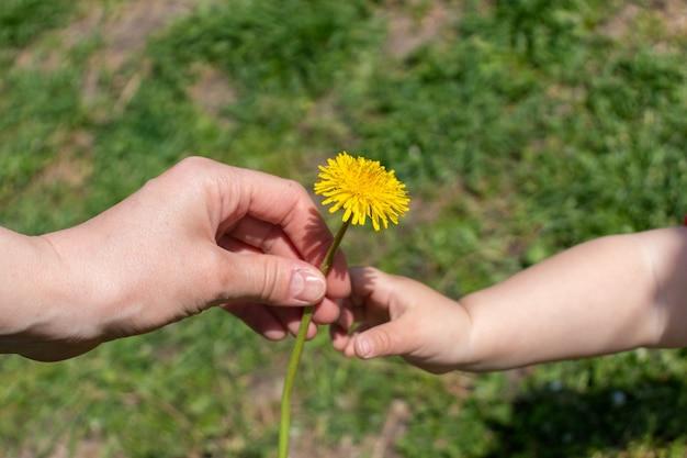 子供の手がタンポポの花を母親の手に与える両手が花を持っている