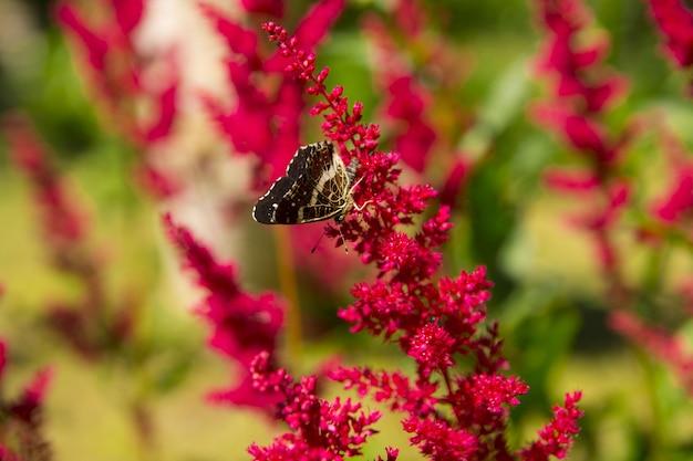 초콜릿 나비는 꽃에 앉아 있습니다. 꿀을 모으다