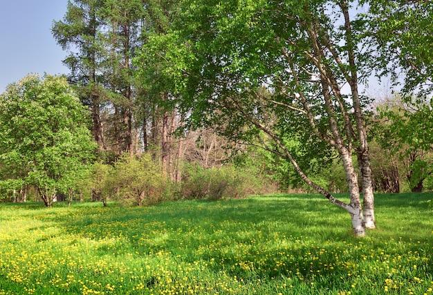 Полянка в солнечном лесу береза со свежей весенней листвой желтых одуванчиков