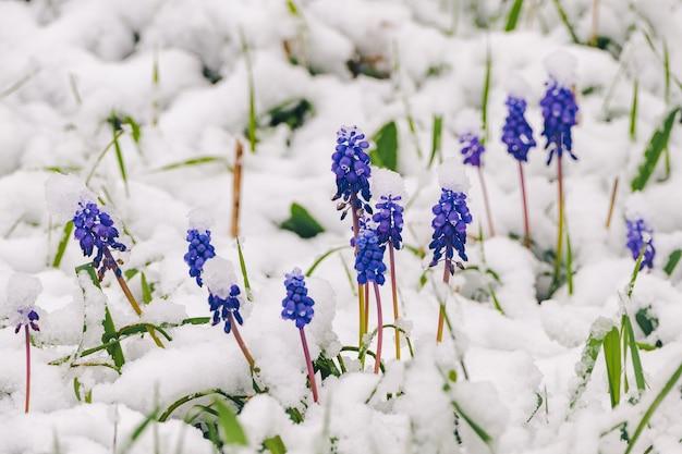 Поляна диких цветов мускари под весенним снегом.