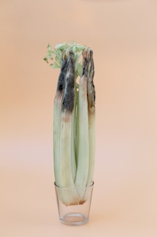 A 밝은 배경에 유리에 건강에 해로운 썩은 버릇없는 셀러리의 닫습니다. 곰팡이가 많은 셀러리.