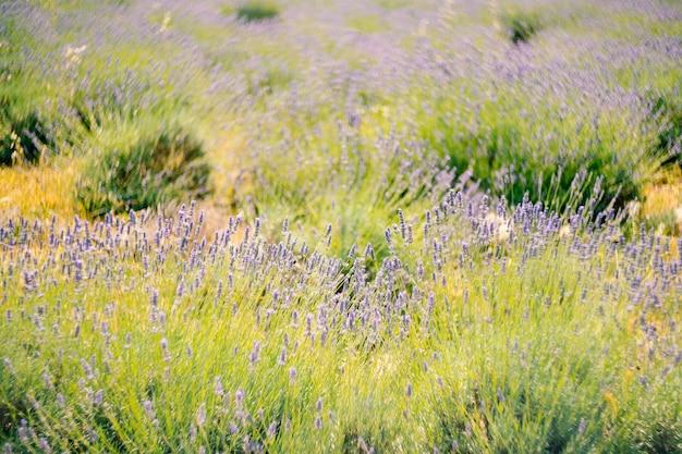 Крупный план цветущих кустов лаванды в поле
