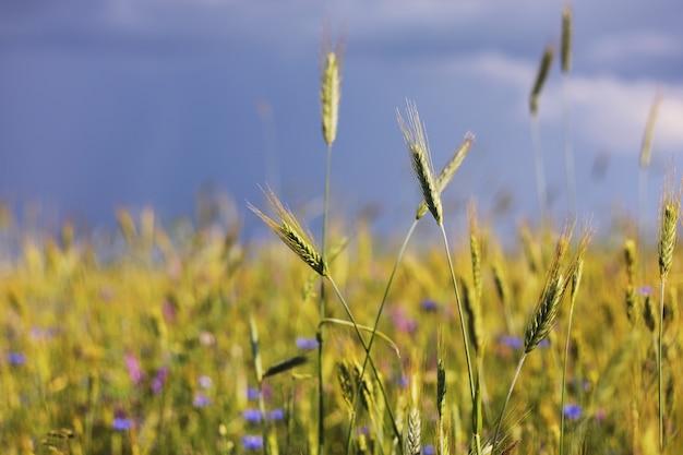 晴れた日の収穫前に熟している麦畑のいくつかの緑の穂のクローズアップ。小麦の成熟した穂。春の若い緑の小麦のジューシーな新鮮な耳