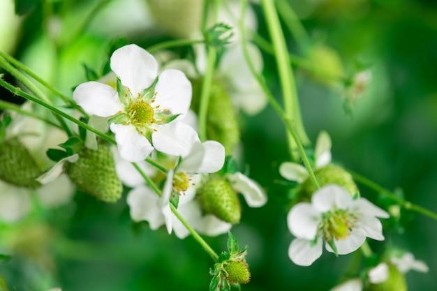 대형 현대 수직 농장에서 딸기 꽃 클로즈업