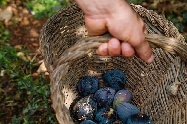 Крупным планом руки фермера с корзиной с органическим инжиром
