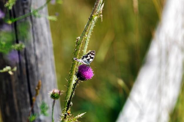 Melanargia galathea의 클로즈업 사진은 nymphalidae과의 중간 크기 나비입니다.