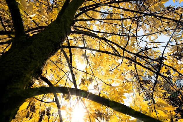 秋の季節の特徴を考慮した木の細部のクローズアップ写真、太陽が黄ばんだ葉を照らす晴れた天気。