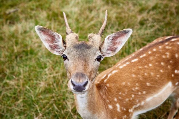 Портрет крупного плана молодого пятнистого оленя cervus nippon. животное в естественной среде обитания на предпосылке травы. большие портреты показывают большие удивленные глаза, поднятые уши и маленькие рога. выборочный фокус