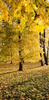 秋の季節の特徴を考慮した木の詳細のクローズアップ、太陽が黄ばんだ葉を照らす晴れた天気。