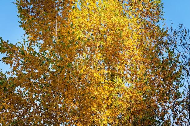 Крупным планом осеннее дерево с большим количеством желтых листьев в летний день.
