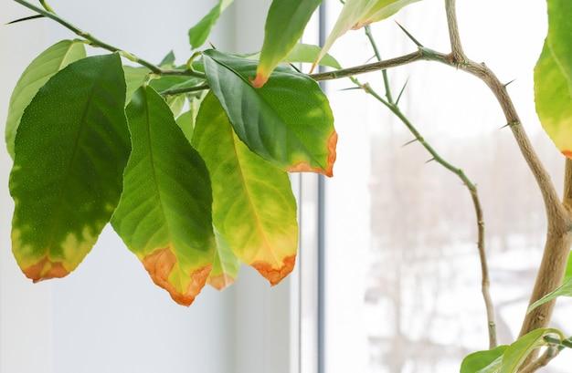落ち葉と黄色の葉で世話をされていない場合は、家の植物のクローズアップのクローズアップ