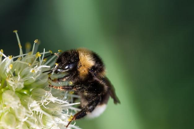 노란색 양파 꽃가루에 땅벌, bombus pascuorum의 근접 촬영. 꿀 생산을 위한 꽃가루 수집. 근접 촬영 복사 공간