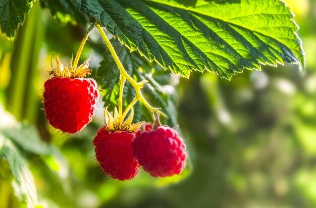 明るい緑の茂みに野生の有機ラズベリーの束のクローズアップ。ビタミン。夏