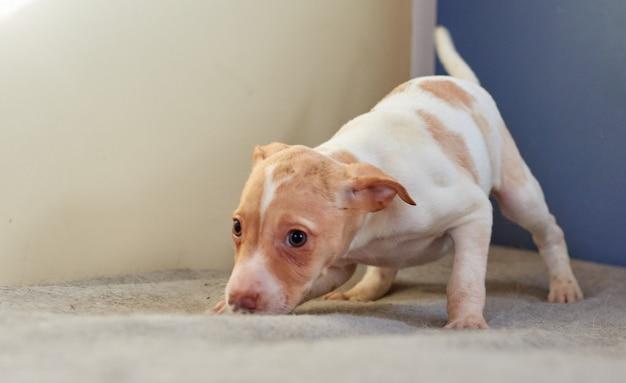 パーソンラッセルテリアのかわいい子犬のクローズアップ