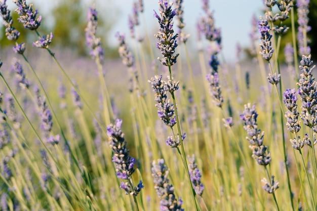 꽃이 만발한 라벤더 덤불의 근접 촬영