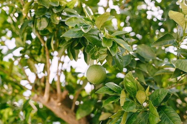 나무 가지에 있는 잎사귀 사이에 있는 녹색 설익은 귤의 클로즈업