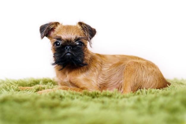 緑の格子縞のベッドの上に横たわっている大きな好奇心旺盛な目を持つ素敵な愛らしいグリフォン子犬のクローズアップの肖像画