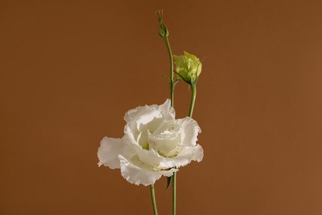 パステルブラウンの背景の美的構成上の白い花のトルコギキョウの静物のクローズアップショット