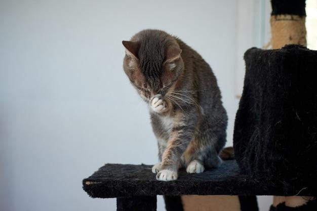 縞模様の猫が自分自身を引っ掻くクローズアップショット