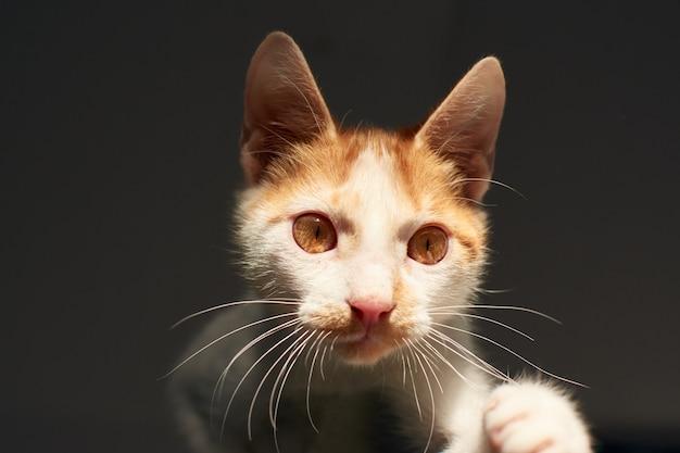 白と生姜猫の屋内のクローズアップショット