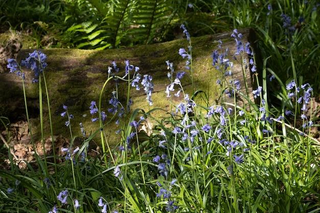 봄 햇살에 비춰진 블루벨 덩어리