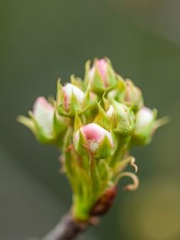 흐림 배경, 봄 꽃 봉 오리에 배 나무 꽃의 클러스터.