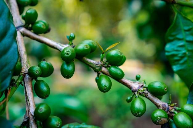 植物からのコーヒーチェリーは、コーヒードリンを作るためのコーヒー豆の源です