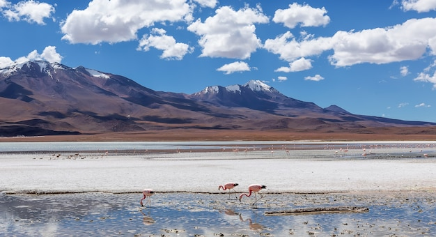 Колония андских фламинго в лагуне гедионда, боливия. южная америка
