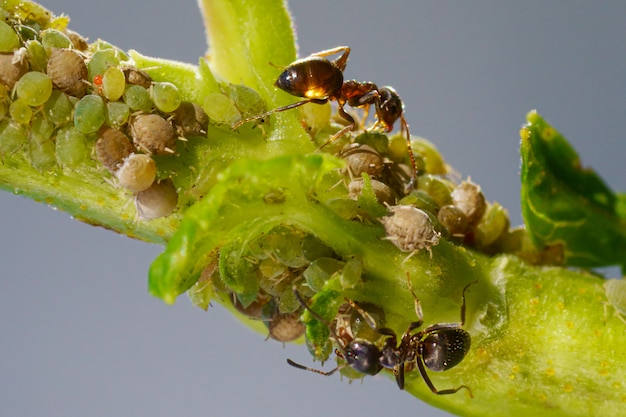 Колония тлей и муравьев на садовых растениях