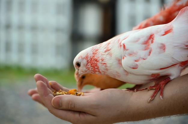 着色された鳩は人間の手から食べます。