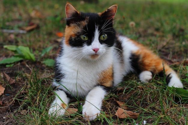 잔디에 누워 화려한 고양이