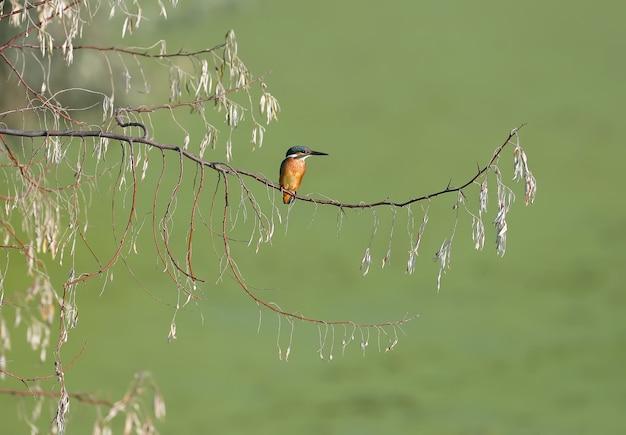 Обыкновенный зимородок сидит на ветке дерева
