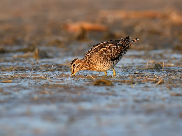 Бекас пасется в мелком пруду в лучах утреннего солнца.