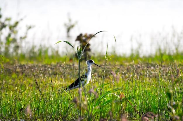 生計のための害虫を探している草の上の一般的なアジサシ