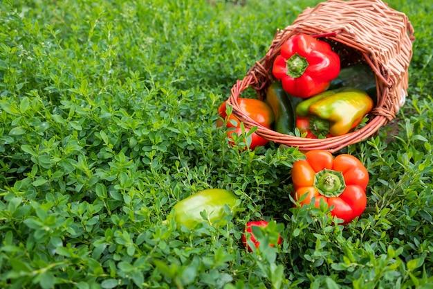 緑の草の上のバスケットに新鮮な甘い色とりどりのコショウの組成物。季節の収穫