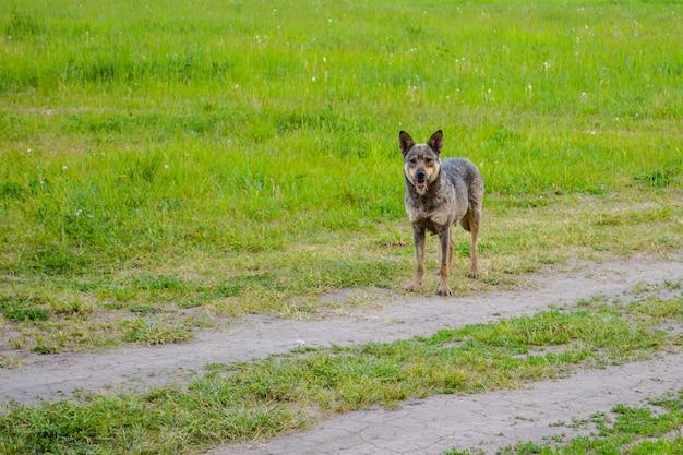 田舎道に立っているホームレスの犬の心配そうな表情。
