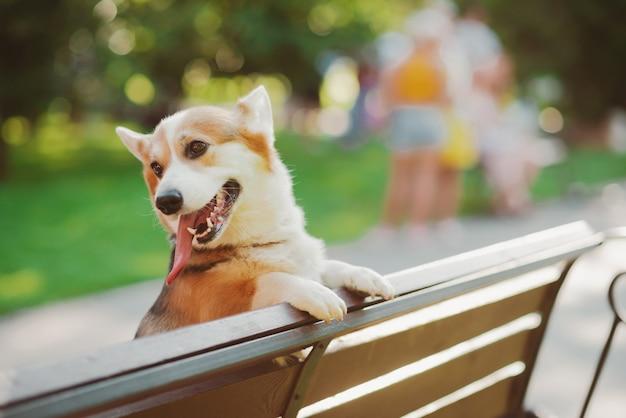 벤치에 올라 공원에서 두 다리로 서있는 코기 개