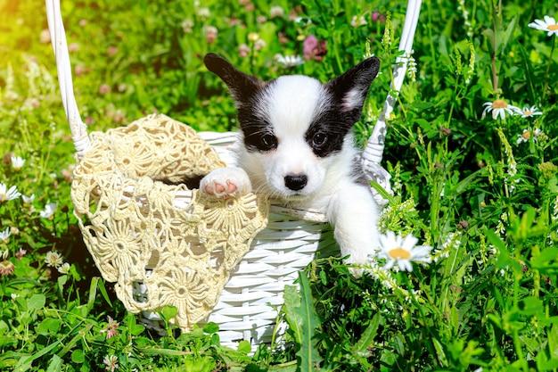 코기 강아지는 잔디에 고리 버들 바구니에 앉아있다