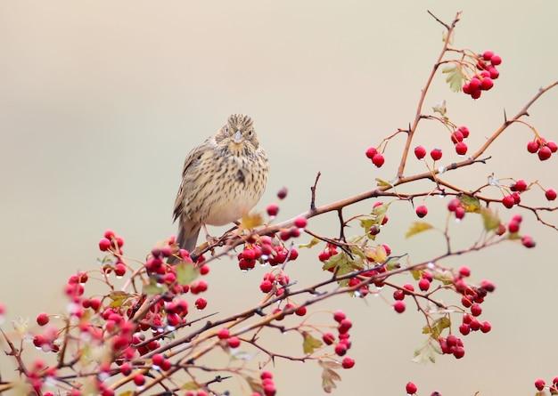 ハタホオジロ(emberiza calandra)がサンザシの茂みに座って、赤いベリーと雨が降ります。鳥